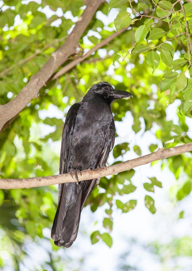 El retrato del pájaro negro profundo del cuervo imágenes de archivo libres de regalías