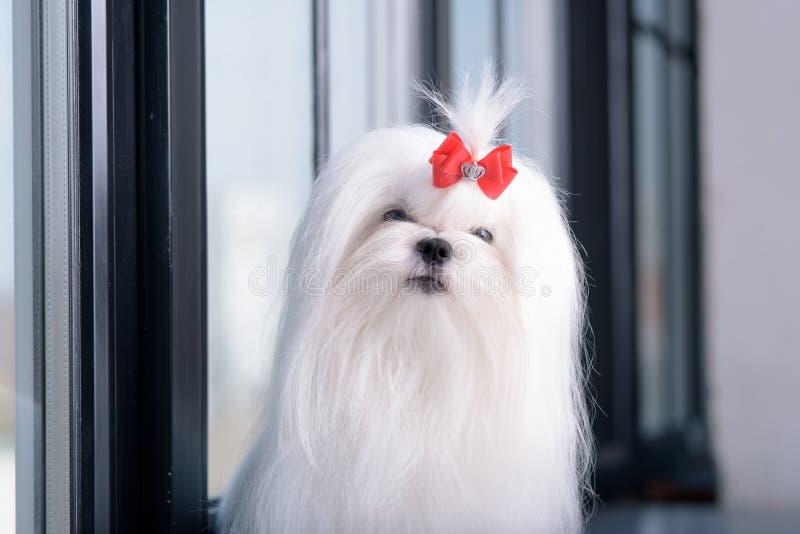 El retrato del peque?o perro blanco atractivo cr?a malt?s imagen de archivo libre de regalías