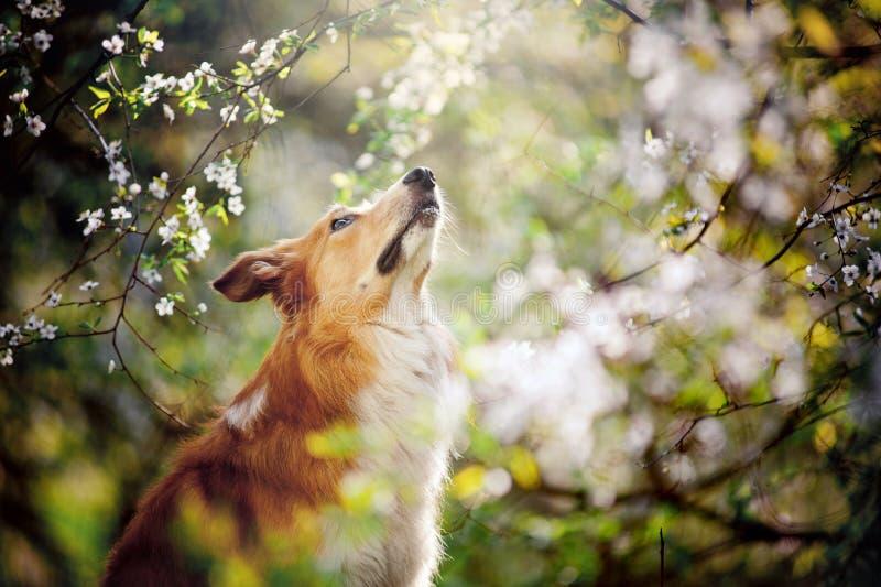 El retrato del perro del border collie mira para arriba en primavera imagen de archivo