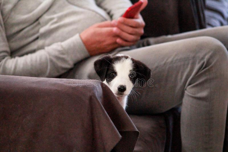 El retrato del perro femenino del pequeño perrito en cama, sofá y sofá está presentando para la sesión fotográfica, cierre para a fotografía de archivo