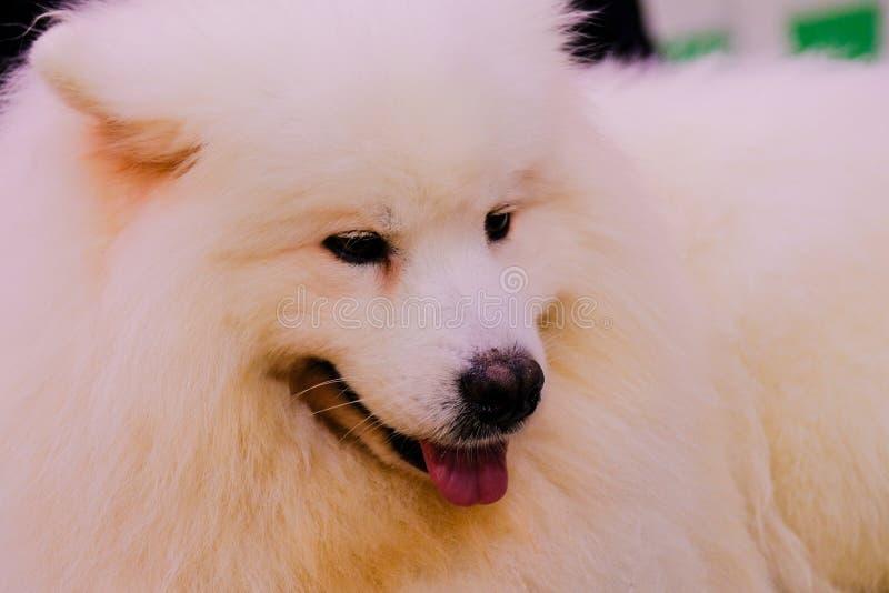 El retrato intenso de un perro del samoyedo fotografía de archivo