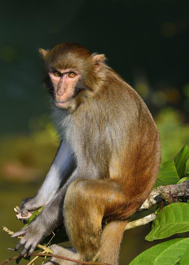 El rey Staring del mono en los visitantes foto de archivo libre de regalías