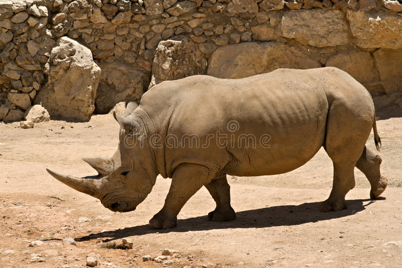 El rinoceronte blanco fotografía de archivo libre de regalías
