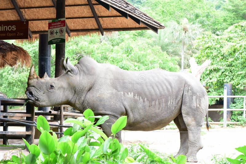 El rinoceronte blanco en el parque zoológico abierto fotografía de archivo libre de regalías