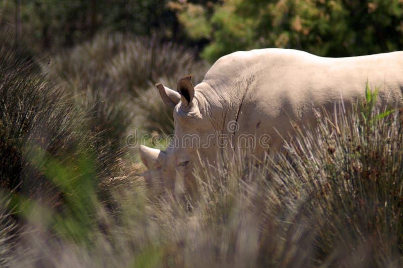 El rinoceronte blanco o el rinoceronte cuadrado-labiado es la especie extant más grande de rinoceronte imagenes de archivo