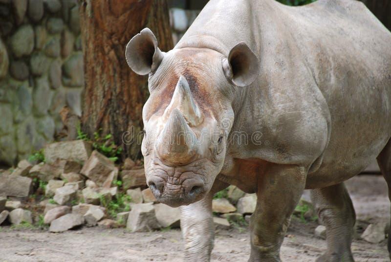 El rinoceronte negro foto de archivo libre de regalías