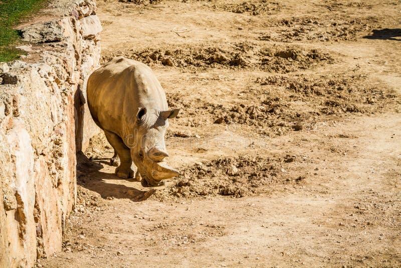 El rinoceronte, parque zoológico bíblico de Jerusalén en Israel fotografía de archivo libre de regalías