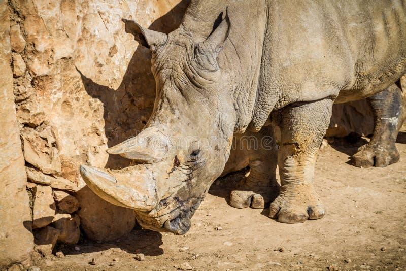 El rinoceronte, parque zoológico bíblico de Jerusalén en Israel fotos de archivo