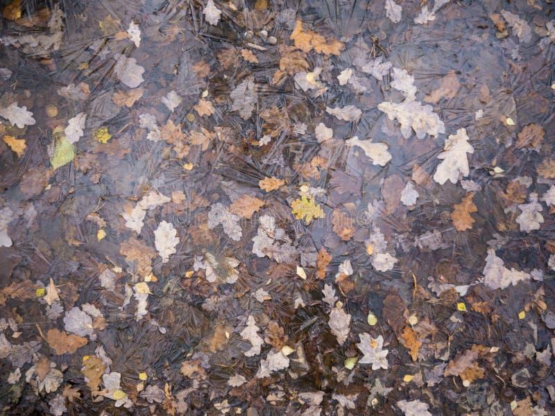 El roble caido bosque del otoño se va bajo opinión superior del hielo imágenes de archivo libres de regalías