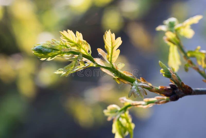 El roble de la primavera sale de petraea macro del quercus imagenes de archivo