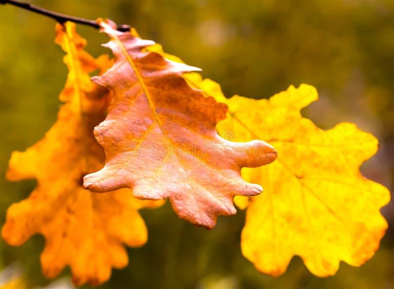 El roble marrón de oro del otoño sale primer de la base otoñal secada delicada del diseño fotos de archivo