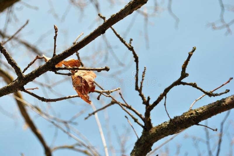 El roble putrefacto del año pasado seco se va en la rama de la ejecución, fondo del cielo azul, textura del grunge fotos de archivo