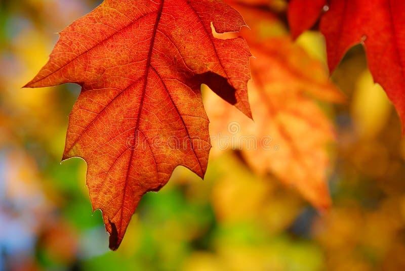 El roble sale de otoño imágenes de archivo libres de regalías