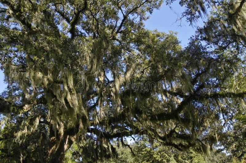 El roble tropical enorme con las ramas que cubren abundantes del musgo español foto de archivo libre de regalías