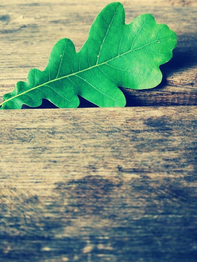 El roble verde se va en una tabla de madera imagen de archivo