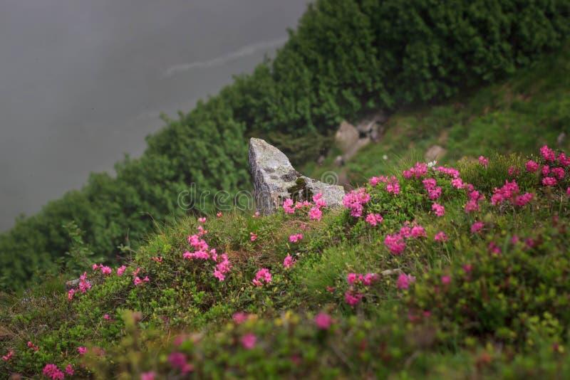 El rododendro florece en la gama de Chornohora en Cárpatos, Ucrania Ruta de Chervona imagen de archivo libre de regalías