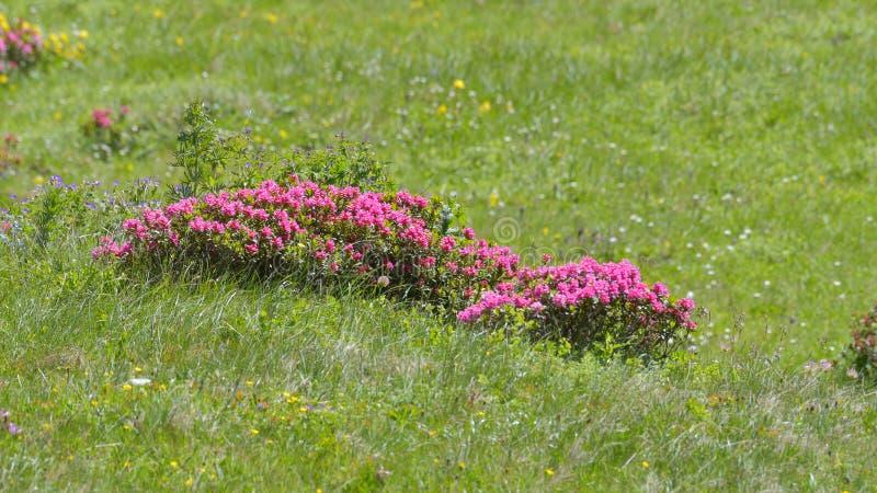 El rododendro floreció en el prado fotografía de archivo