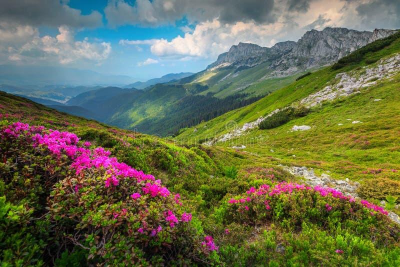 El rododendro rosado colorido florece en las montañas, Bucegi, Cárpatos, Rumania imágenes de archivo libres de regalías