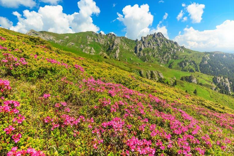 El rododendro rosado hermoso florece en las montañas, Ciucas, Cárpatos, Rumania foto de archivo libre de regalías