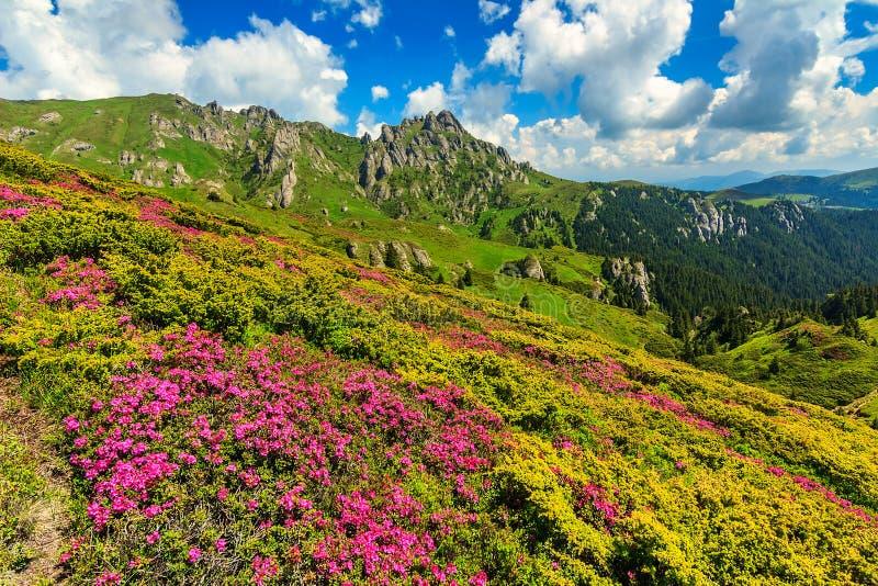 El rododendro rosado imponente florece en las montañas, Ciucas, Cárpatos, Rumania foto de archivo libre de regalías