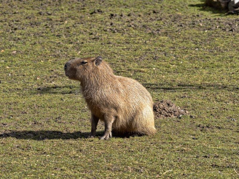 El roedor más grande, Capybara, hydrochaeris del Hydrochoerus foto de archivo libre de regalías