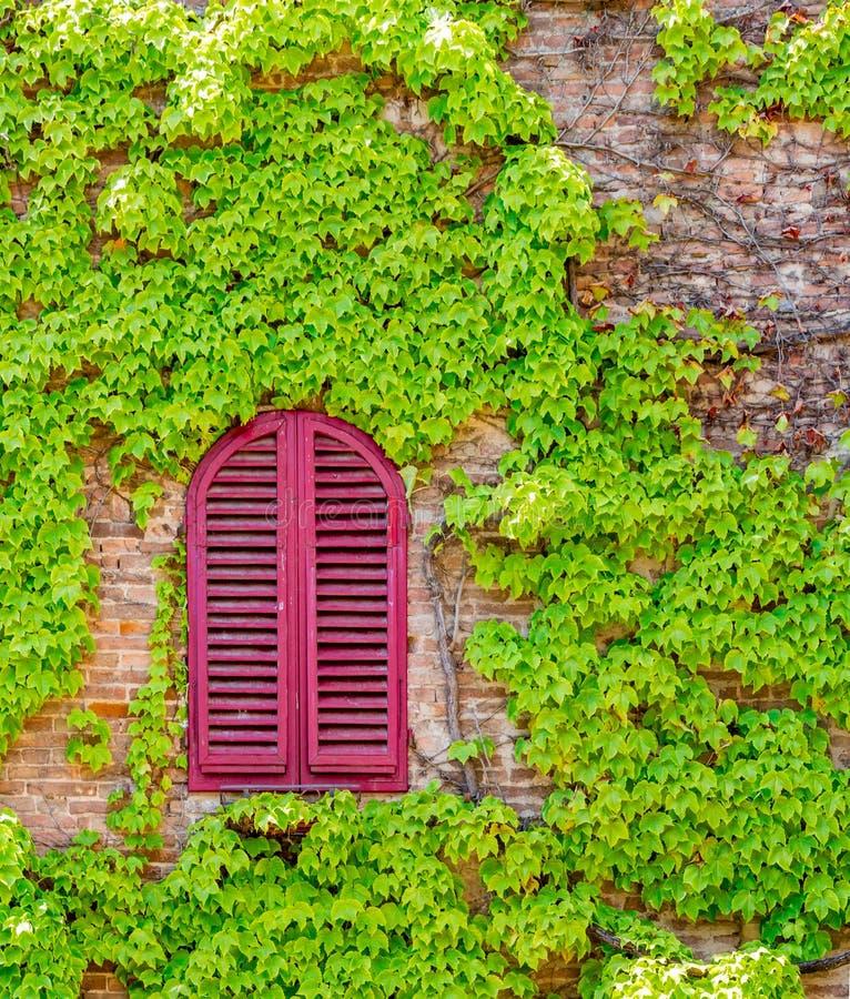 El rojo brillante shuttered la ventana rodeada por las vides verdes o del arrastramiento foto de archivo