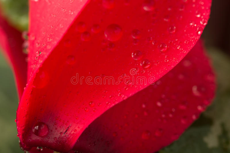 El rojo cyclamen foto de archivo libre de regalías