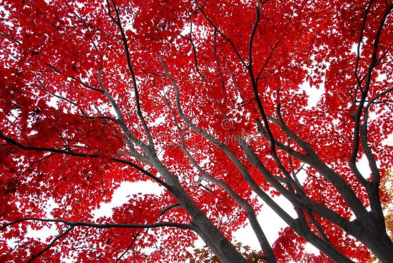 El rojo deja troncos fotos de archivo libres de regalías