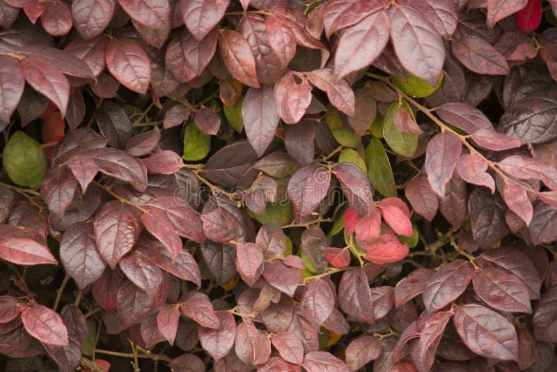 El rojo del otoño deja la textura, textura imagen de archivo