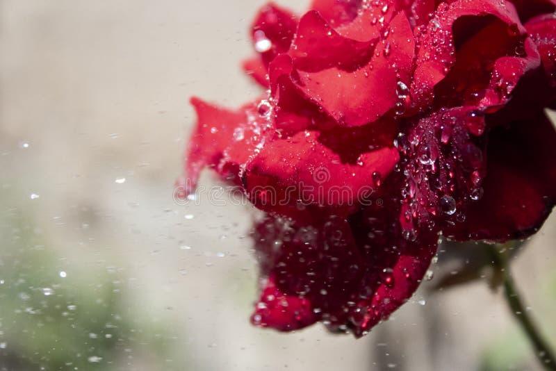 El rojo encantador se levant? fotografía de archivo libre de regalías