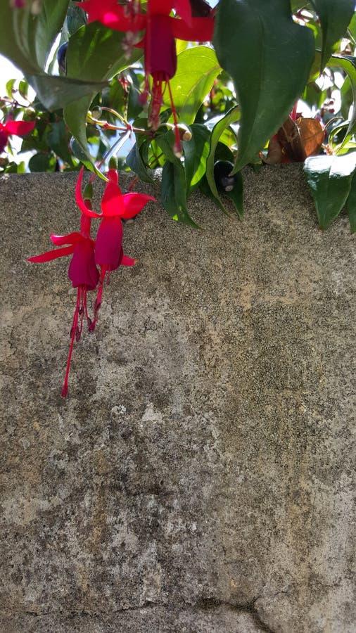 El rojo florece la pared gris fotografía de archivo libre de regalías