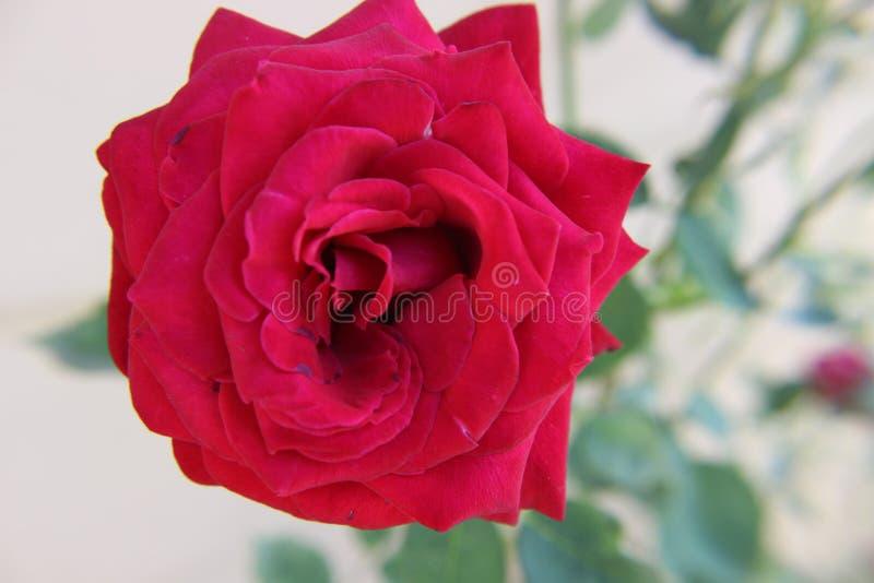El rojo floreciente se levantó imagen de archivo