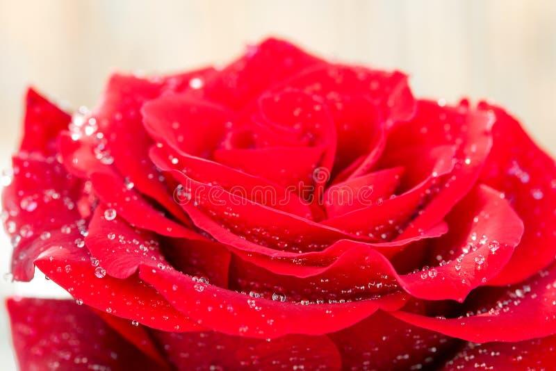 El rojo hermoso se levantó con gotas del agua fotografía de archivo libre de regalías