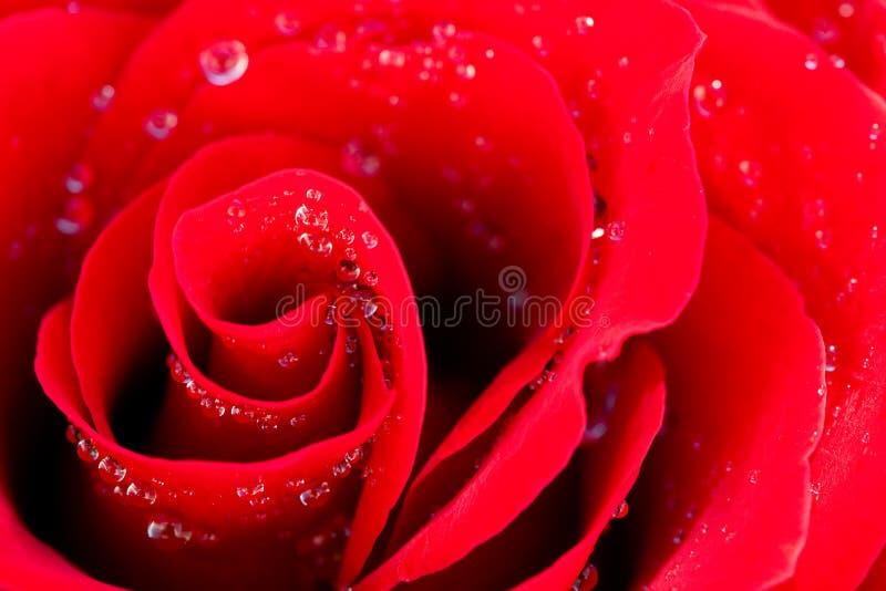 El rojo hermoso se levantó con gotas del agua imagen de archivo libre de regalías