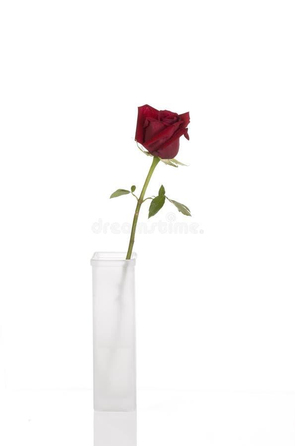El rojo hermoso se levantó en florero blanco alto imágenes de archivo libres de regalías