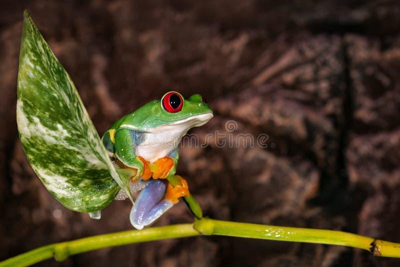 El rojo observó la rana arbórea que se sentaba en el palo de la planta en fondo del marrón oscuro imagen de archivo libre de regalías