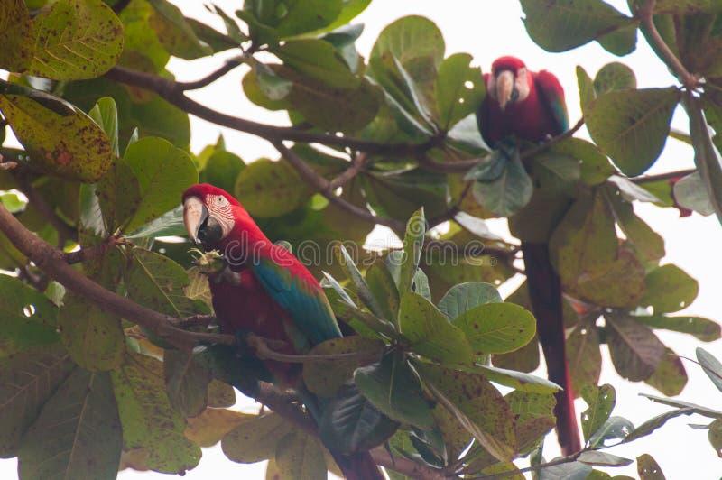 El rojo repite mecánicamente pájaros en el Pantanal, el Brasil fotos de archivo libres de regalías