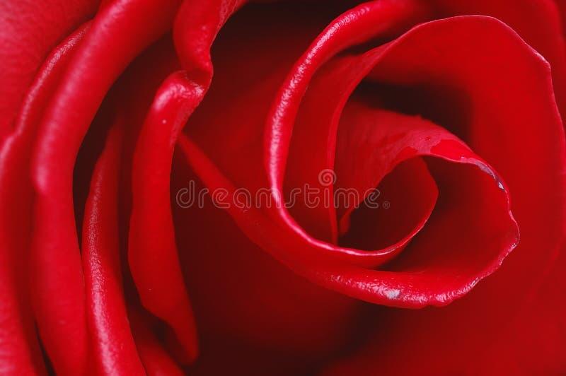 El rojo se levantó imagenes de archivo