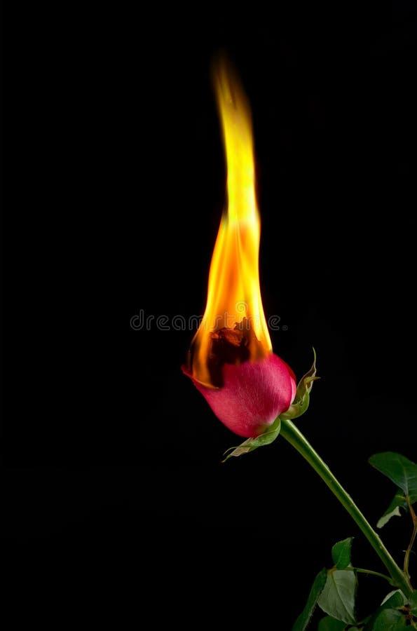 El rojo se levantó en el fuego foto de archivo