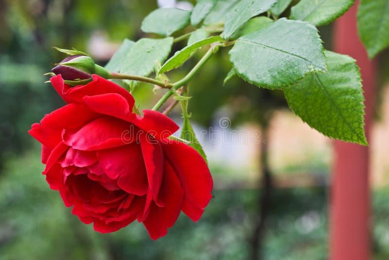 El Rojo Se Levantó En El Jardín Imagen de archivo libre de regalías