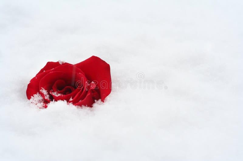 El rojo se levantó en nieve foto de archivo