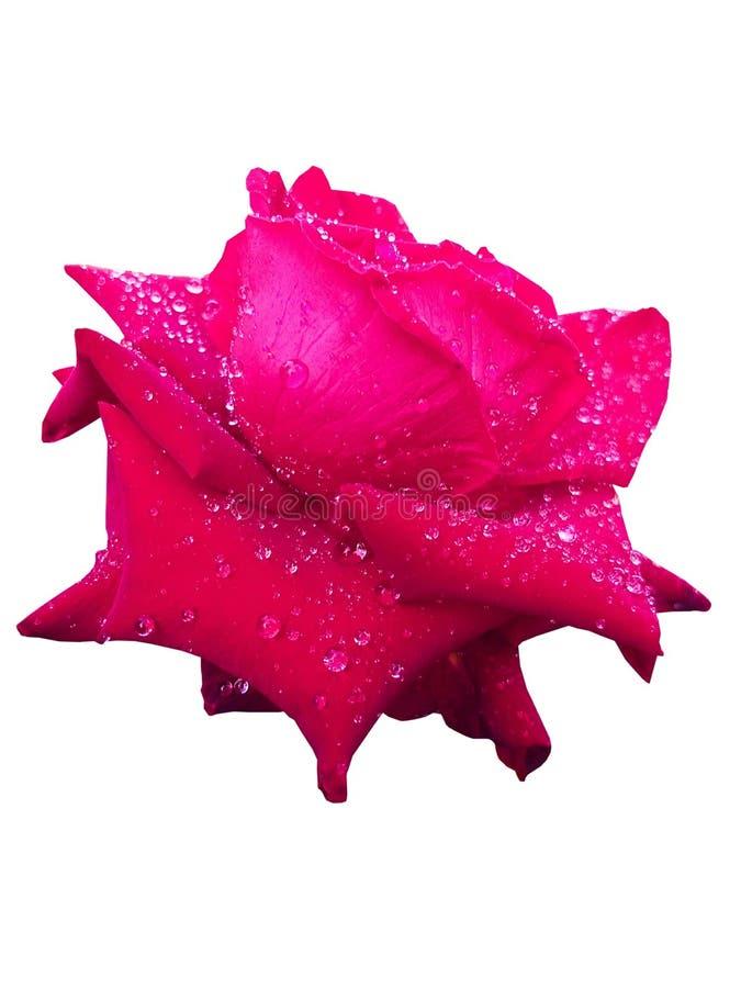 El rojo se levantó Flores y descensos del agua flores del amor imagen de archivo libre de regalías