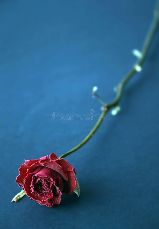 El Rojo Secó Color De Rosa En Azul Fotografía de archivo libre de regalías