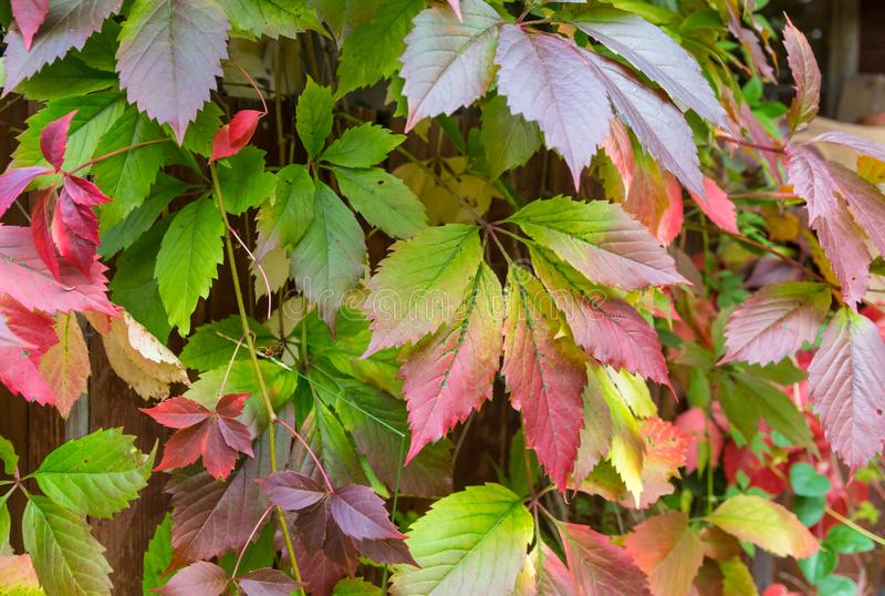 El rojo verde salvaje de las uvas de la liana deja a erizo grande del paisaje del otoño el fondo brillante fotos de archivo