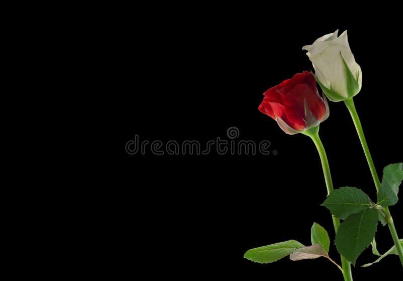 El rojo y el blanco se levantaron fotografía de archivo libre de regalías
