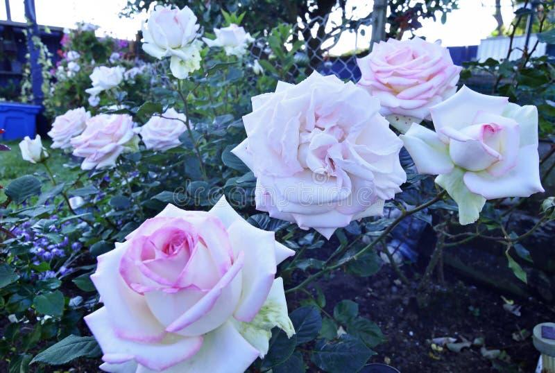 El rosa afiló las rosas blancas que crecían en la rosaleda casera fotos de archivo