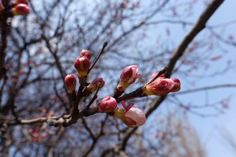 El rosa cerró los brotes de flor en la rama del albaricoque contra el cielo azul foto de archivo libre de regalías