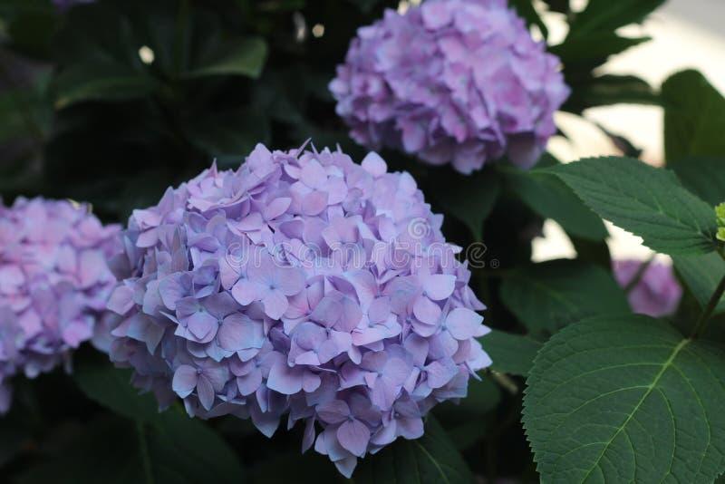 El rosa de la hortensia de las flores, púrpura crece imagen de archivo