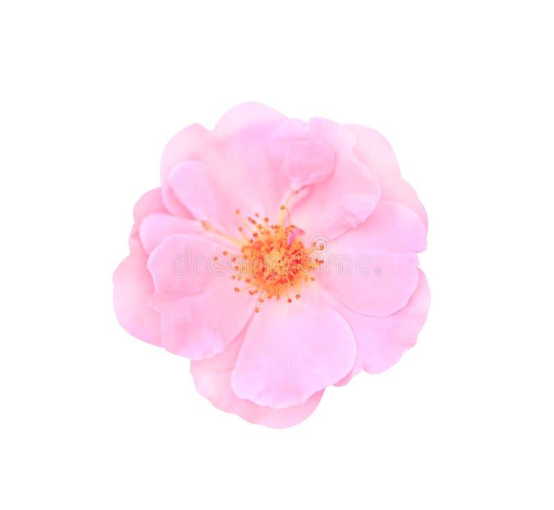 El rosa de la visión superior subió floración de la flor aislada en el fondo blanco con la trayectoria de recortes imagen de archivo libre de regalías