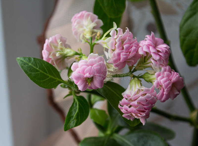 El rosa florece las pimientas decorativas en un pote imagenes de archivo